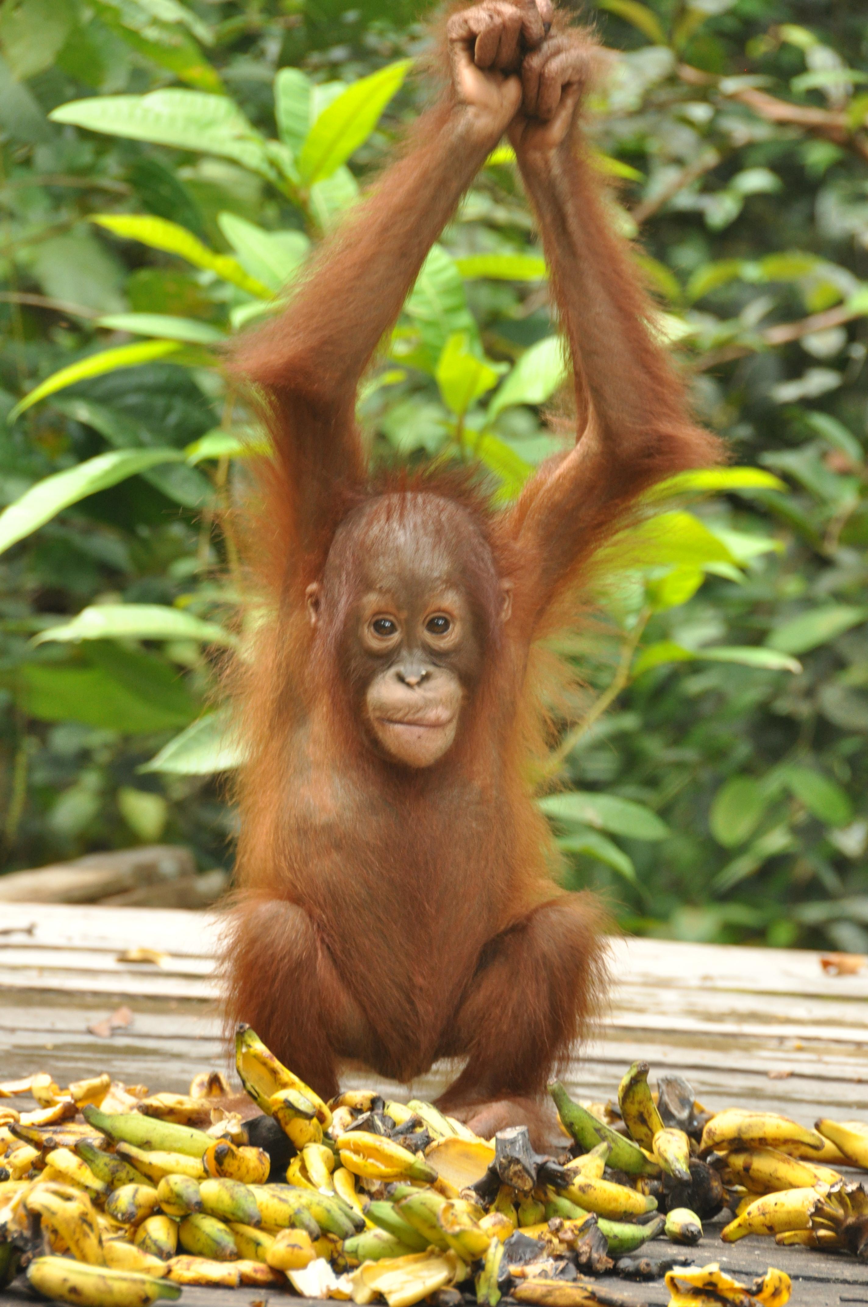 Orangutan Triptoes